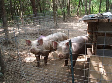 Feeder Pigs For Sale In Nc feeder pigs for sale