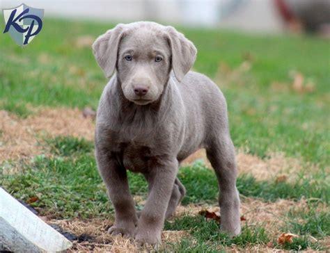 mini lab puppies 2017 charming miniature labrador retriever for sale puppies names pictures