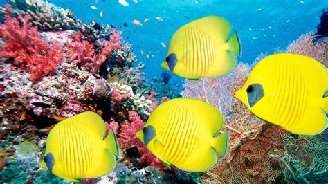 caraibi la barriera corallina 232 in pericolo corretta