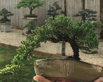 Bonsai Wedding Giveaways - japanese juniper bonsai in handmade japanese setku bowl