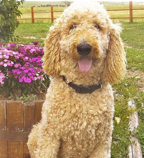 Goldendoodles Of Colorado Golden Doodle Puppies