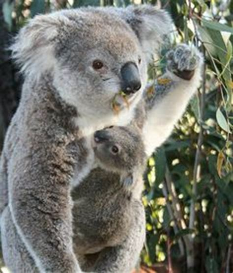 female koala pouch 1000 images about koalas on pinterest koala bears baby