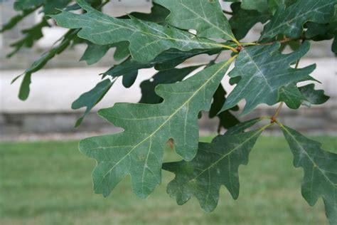 Trees For Seattle White Oak Leaf