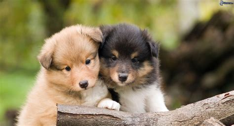 beautiful puppies beautiful sheltie breed puppies wallpapers and images wallpapers pictures photos