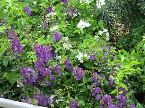 shrub with purple flowers file purple flowering plants at fmnh jpg wikimedia commons