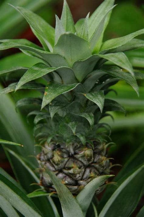 grow  pineapple indoors gardening channel