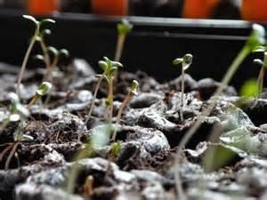marigold seedlings in the flower garden pinterest