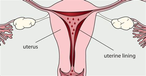 diagram of fallopian and uterus diagram uterus 28 images uterus anatomy britannica