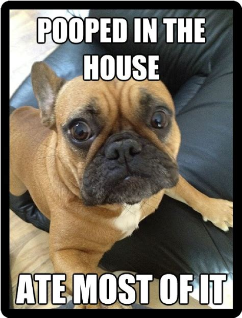 funny dog humor french bulldog pooped   house