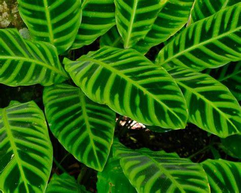 gardensonline calathea zebrina