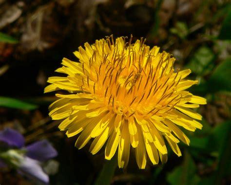 dandy flowers taraxacum