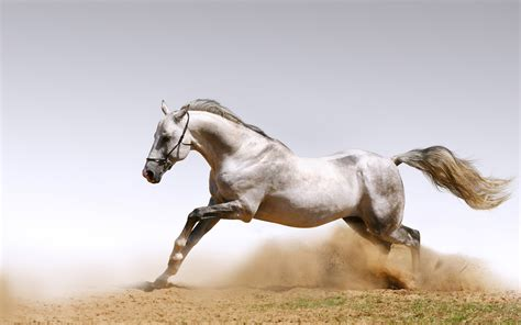 hd white horse wallpapers   wallpapers