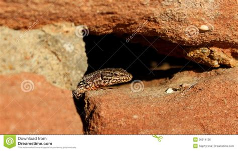 lizard out of lizard royalty free stock image image 36314126