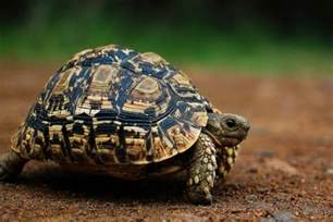 leopard tortoise world reptiles and amphibian center