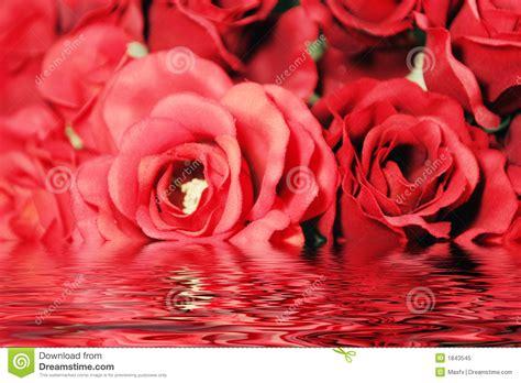 imagenes bonitas de rosas de cumpleaños rosas vermelhas bonitas com reflex 227 o da 225 gua foto de stock