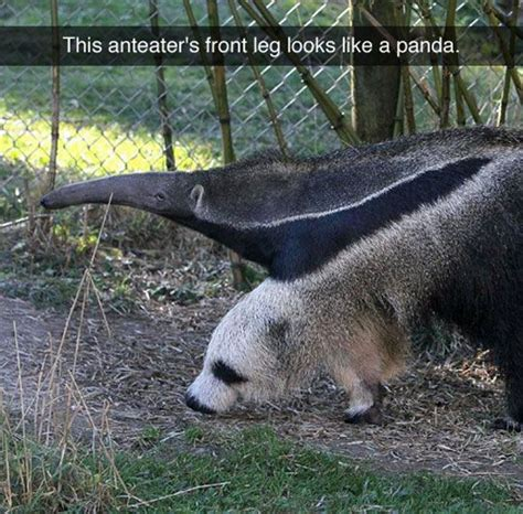 Anteater Meme Generator - 1000 ideas about panda funny on pinterest pandas