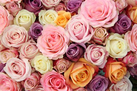 color roses pastel roses wallpaper everything s pastel