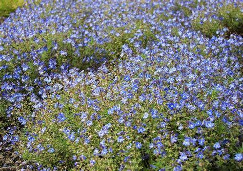 blaue stauden winterhart blau bl 252 hende rosenbegleitstauden