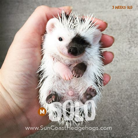 hedgehog for sale solo greypinto grey pinto available hedgehogs for