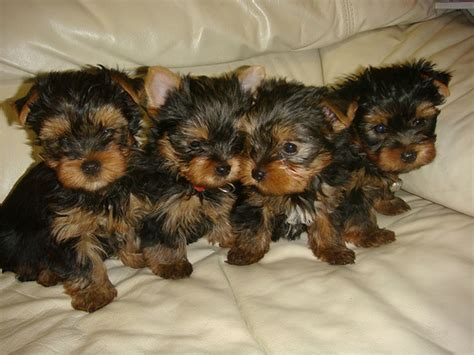 free teacup yorkies puppies talanted teacup yorkie puppies for free adoption pets for sale in the uk