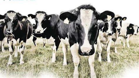 imagenes vacas locas vacas locas en espera de la segunda oleada abc es