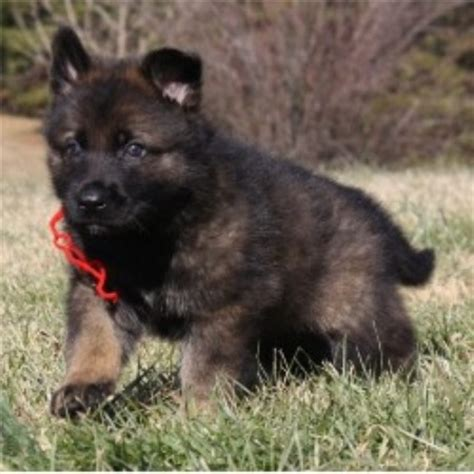 free puppies in nc free german shepherd puppies for sale in nc