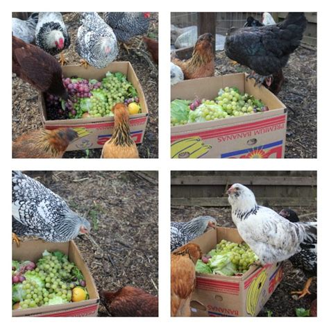chickens for backyards coupon code backyard chickens one hundred dollars a month
