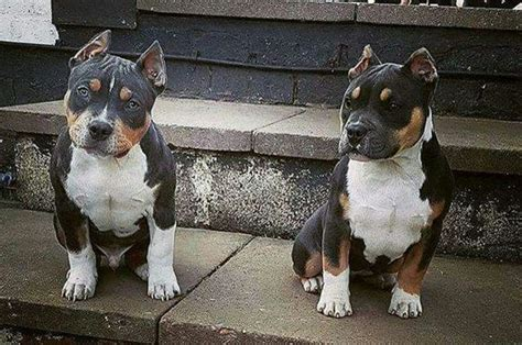 pitbull with rottweiler markings 516 best images about pit bulls on american pit puppys and blue pits