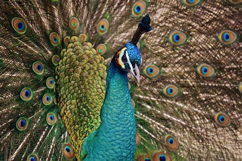 free photo peacock blue bird iridescent free image free photo peacock bird colorful animal free image