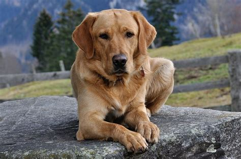 difference between labradors and golden retrievers difference between labrador and golden retriever