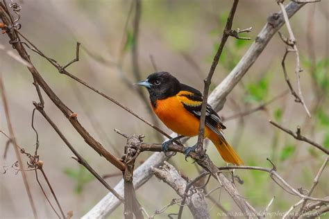 how to attract baltimore orioles to your backyard orioles are on the move how to attract these beauties to your yard paul roedding