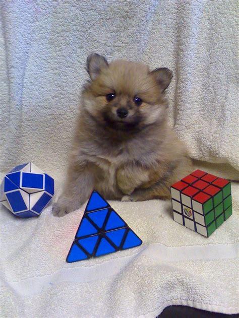 pomeranian breeders in colorado pomeranian puppies in colorado home