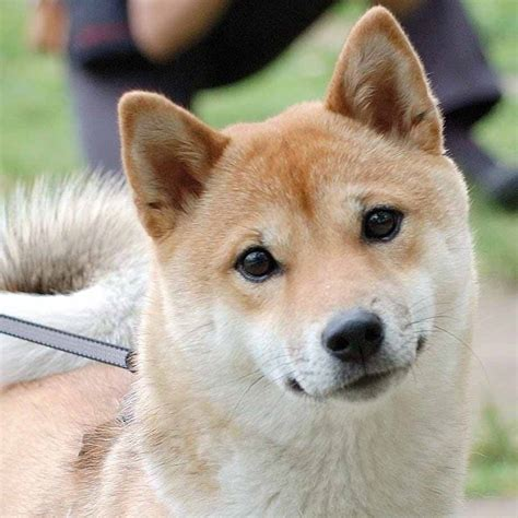 all about the shiba inu shiba inu history personality appearance health and