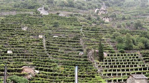 terrazzamenti in collina grandi vitigni d italia nebbiolo il re piemonte