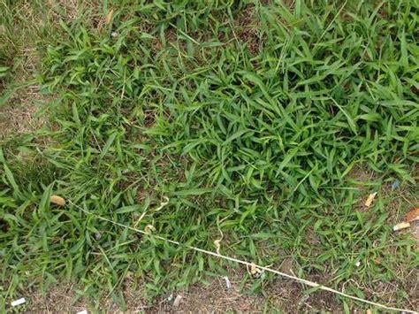 Unkraut Im Rasen Spritzmittel 1255 by Rasen Nach Der D 252 Rre Bek 228 Mpfung Hirse Garten Ch