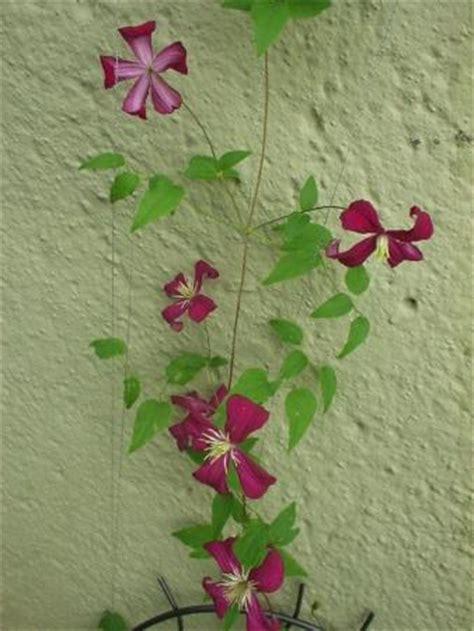 mein schöner garten forum clematis rankhilfe clematis im garten pflanzen tipps f r