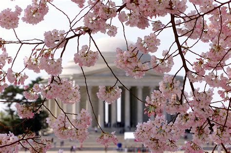 cherry blossom festival dc festival officials predict best dates to see dc cherry blossoms wtop