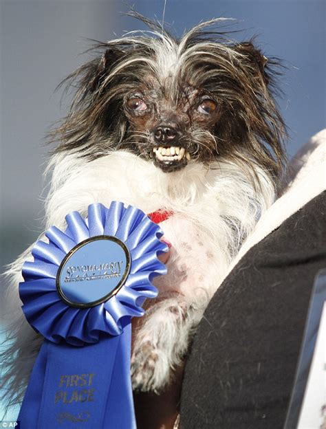 worlds ugliest pug introducing peanut the world s ugliest contest winner for 2014