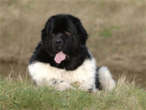 Terre-Neuve : chien et chiot Newfoundland Dog, Newfie ...