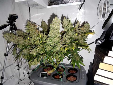 complete guide  cannabis plant training grow weed easy