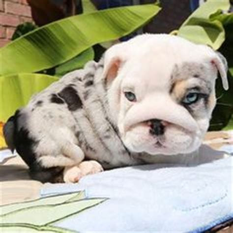 color me bad bulldogs color me bad anse is the sire and produced by color