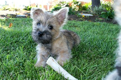 cairn terrier puppy cairn terrier puppies images puppies breed information image pictures