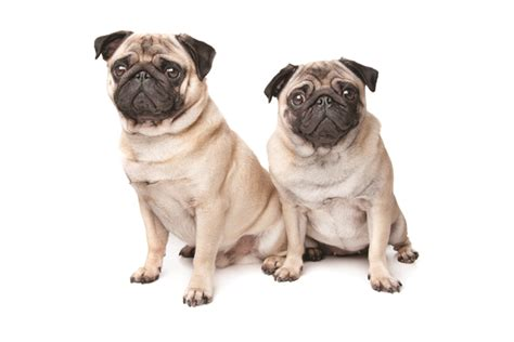 pde pugs pug encephalitis pde today s breeder purina pro club