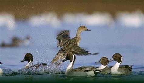 hutte oiseau association nationale des chasseurs de gibiers d eau