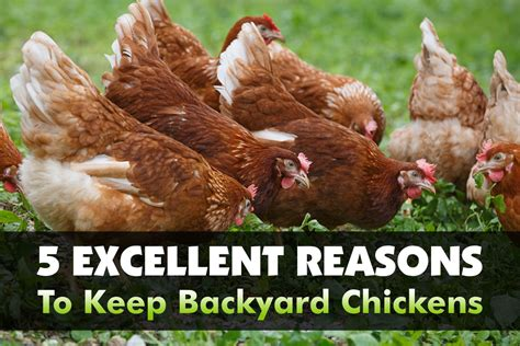How To Keep Backyard Chickens 5 Excellent Reasons To Keep Backyard Chickens The Grow Network The Grow Network