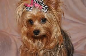 haircuts for yorkie dogs females female yorkie haircuts dryorkies pastpuppygallery html