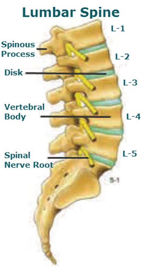 diagram of spine discs lumbar definition what is