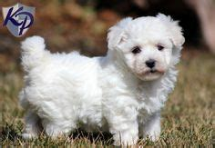 bichon frise puppies for sale in pa teacup bichon frise puppies bichon frise puppy named legacy bichon frise