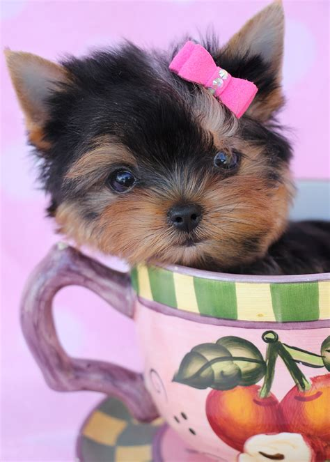 teacup yorkie beds terrier puppy for sale at teacups puppies south florida teacups puppies