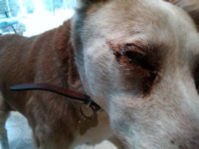 eye drainage in dogs eye discharge crusty unable to open